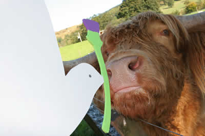 Hamish the Heilan Coo; photo:Iain Mitchell